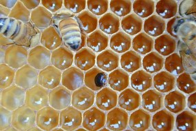 Hive Beetle