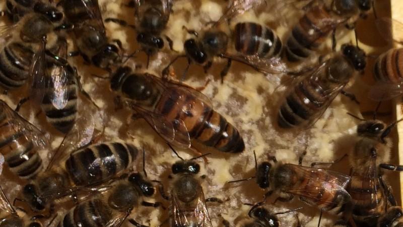 Filipino Beekeeper Raises Russian Queens