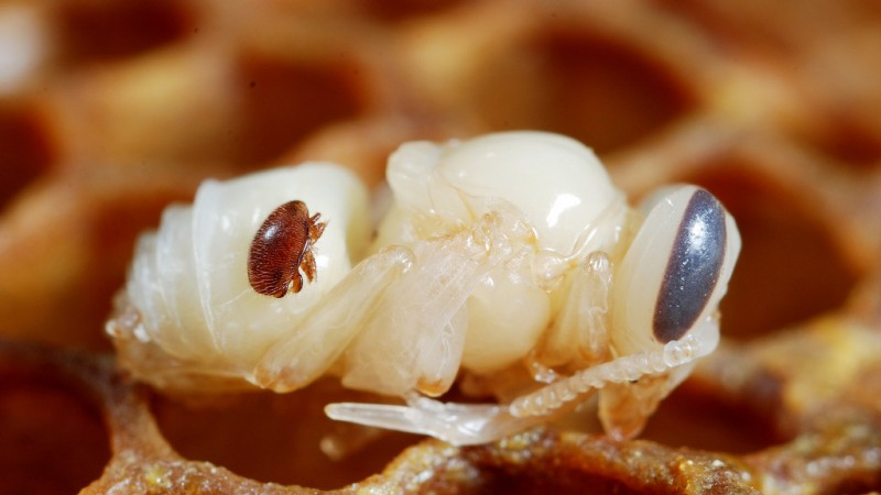 World Authority Identifies Varroa Resistant Bees