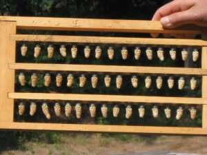Queen Cells on Grafting Frame
