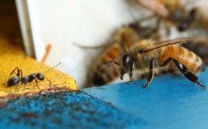 Bee vs Ant