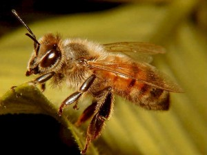 Russian Bee Colony Defense