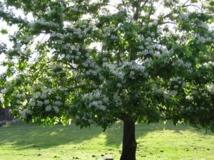 basswoodtree