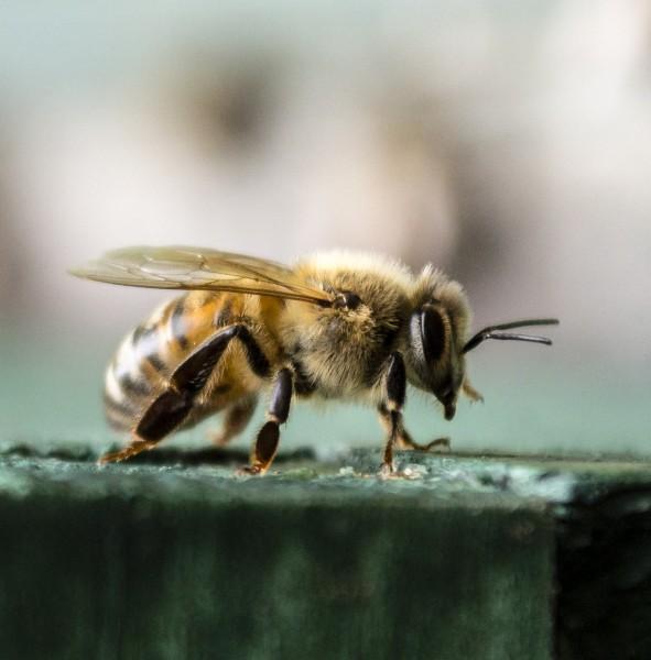 Russian Honeybee
