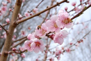 peach_blossoms_and_a_bee